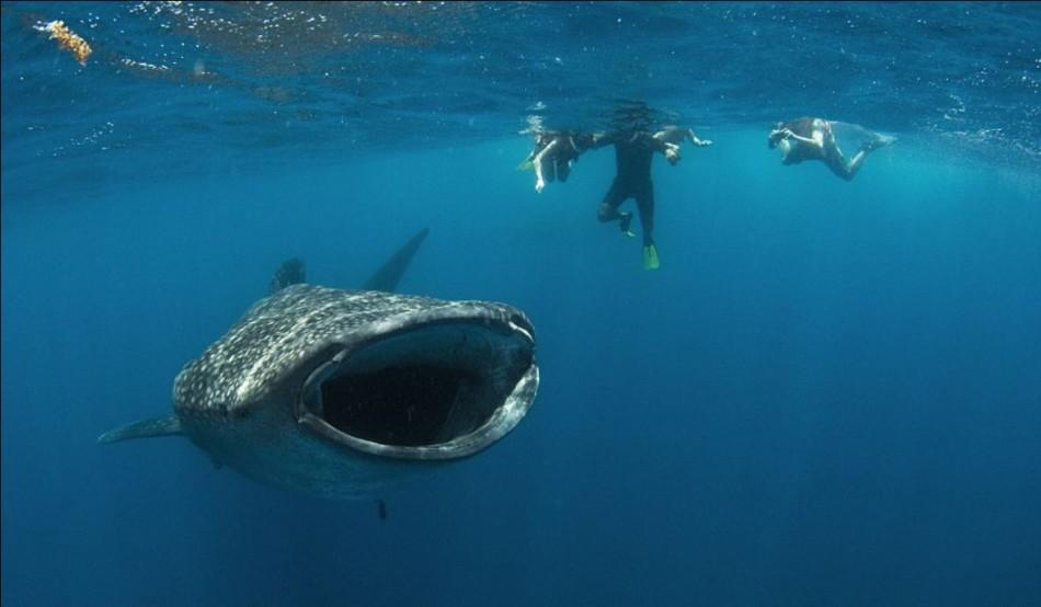 Gambar-gambar Yu Paus hampir menelan penyelam