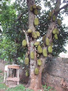 Pohon Nangka