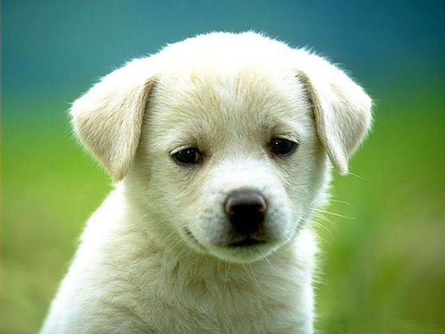 Cute Dog White HD Wallpaper