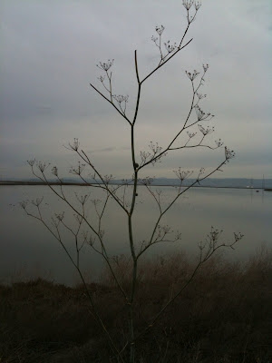 Pruned fennel at Shoreline Park, Mountain View