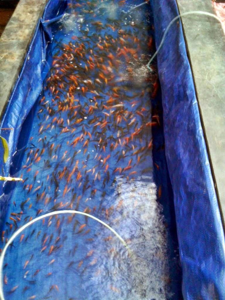 Makanan Untuk Anak Ikan Koi Akuarium Ikan Hias
