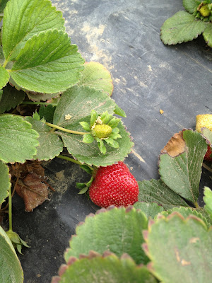 Picture of young and ripe strawberries.