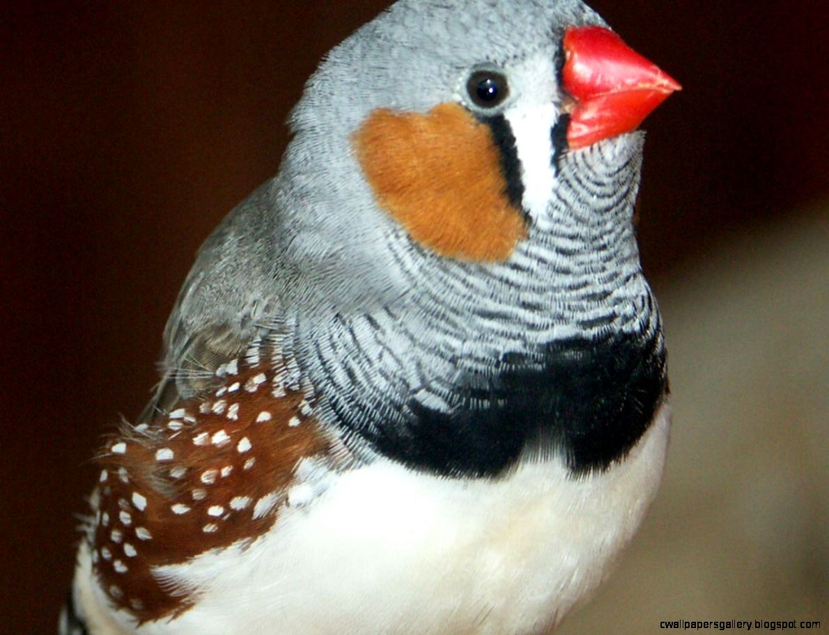 Pet Zebra Finches  Amazing Wallpapers
