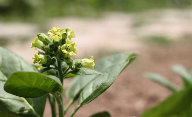 Nicotiana Rustica Flowers