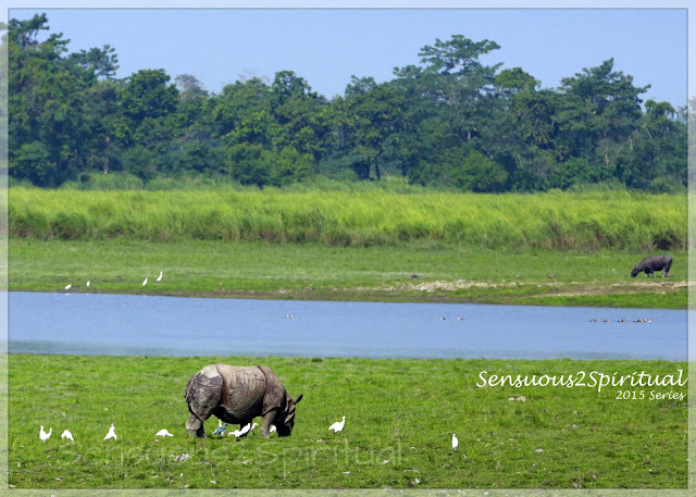 Kaziranga Assam rhinoceros Wildlife Photography