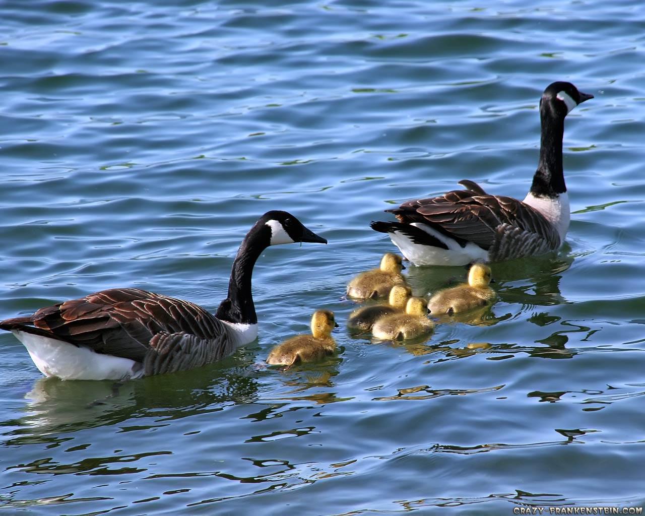 http://3.bp.blogspot.com/-ZqsSnfd01gk/Tka-0Bmm_CI/AAAAAAAACFU/-ZiInz9jEN0/s1600/canada-geese-family-wallpaper-1280x1024.jpg