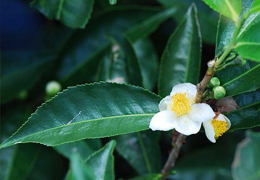 The herb gardener growing tea plant - Camelia planta ...