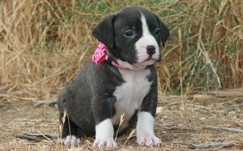 American pitbull dog - photo#25