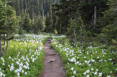 Trail ablaze with Erythronium montanum (glacier lily)