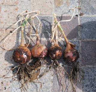 cosecha casera de cebollas