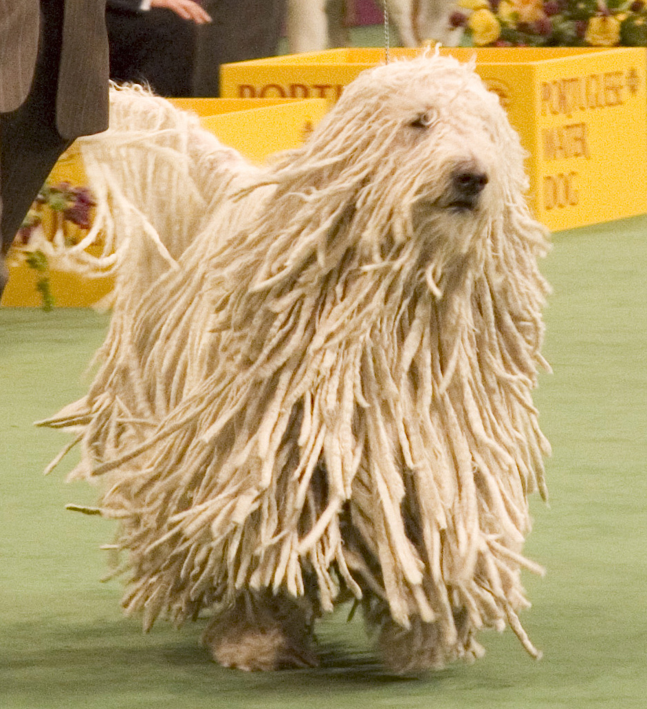 Funny Pics: Funny Komondor Dog Images Komondor Dog Pictures