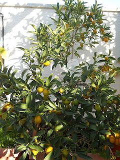 árbol del kumquat