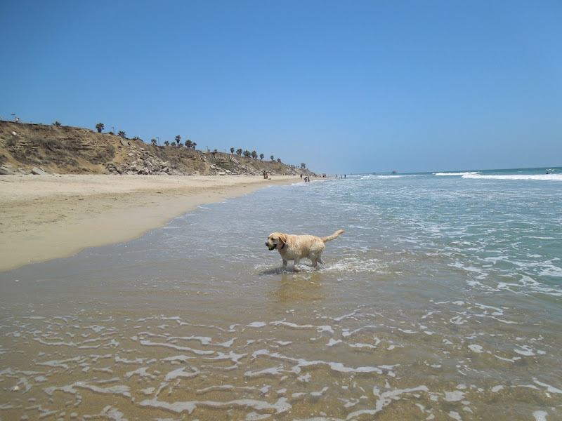 Huntington Dog Beach Labrador