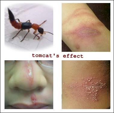 Gambar korban serangga tomcat