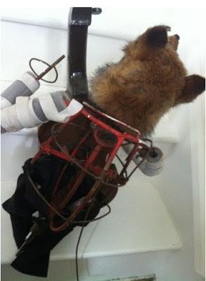 Taxidermy automaton fox fairground circus freak