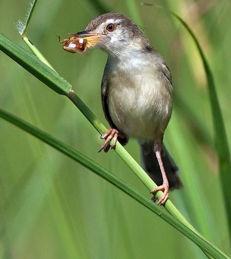 Foto Burung Ciblek Sawah Jantan