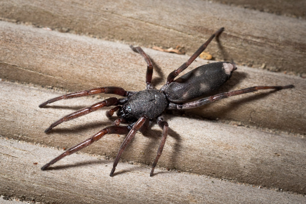White-tailedSpider_B260022 - Filipino tourist has legs amputated after being bitten by Australian spider - Weird and Extreme
