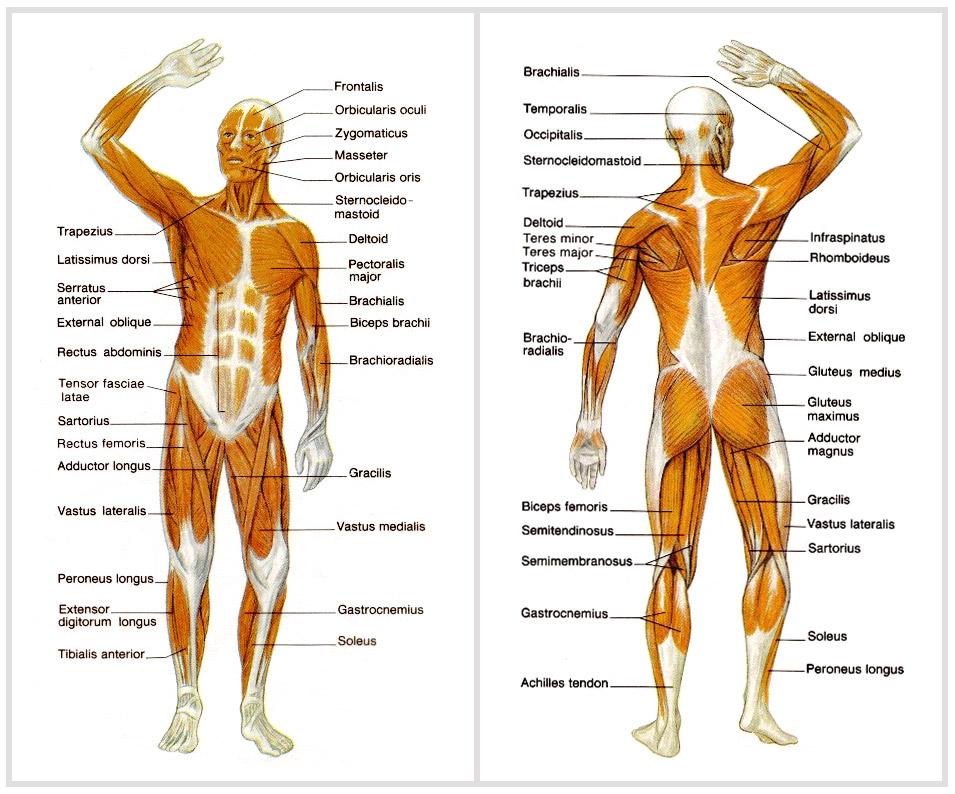 opphit muskler i kroppen navn