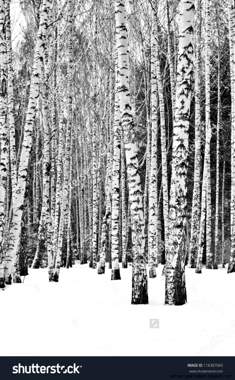 Birch Trees In A Snowy Forest In Black And White Stock Photo