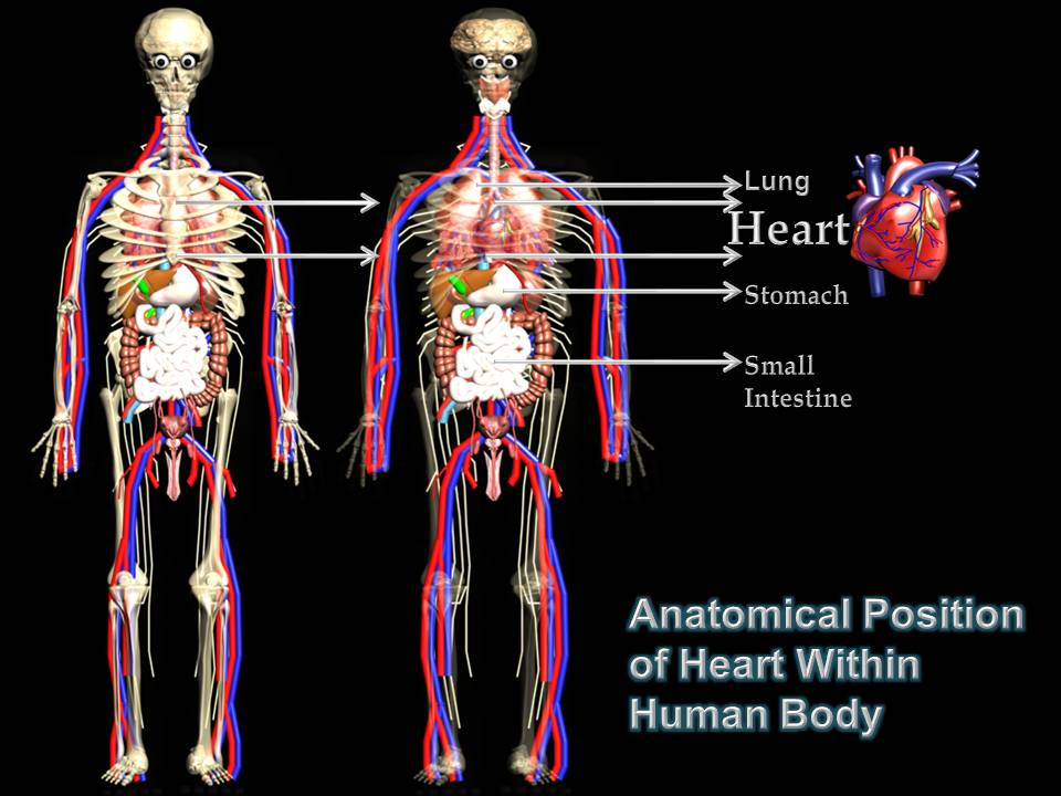 Subhaditya infoworld human heart unique pumping muscle of human body position of heart within human body ccuart