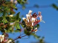 Fulles i flors d'un exemplar de xuclamel o lligabosc