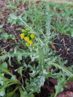 Groundsel plant
