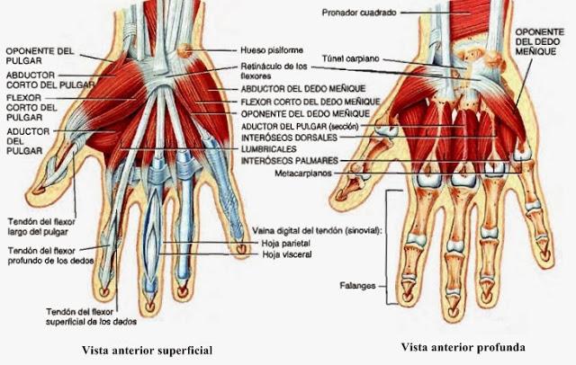 Radiología e Imagenologia : MUSCULO ESQUELÉTICO (MUÑECA-MANO)