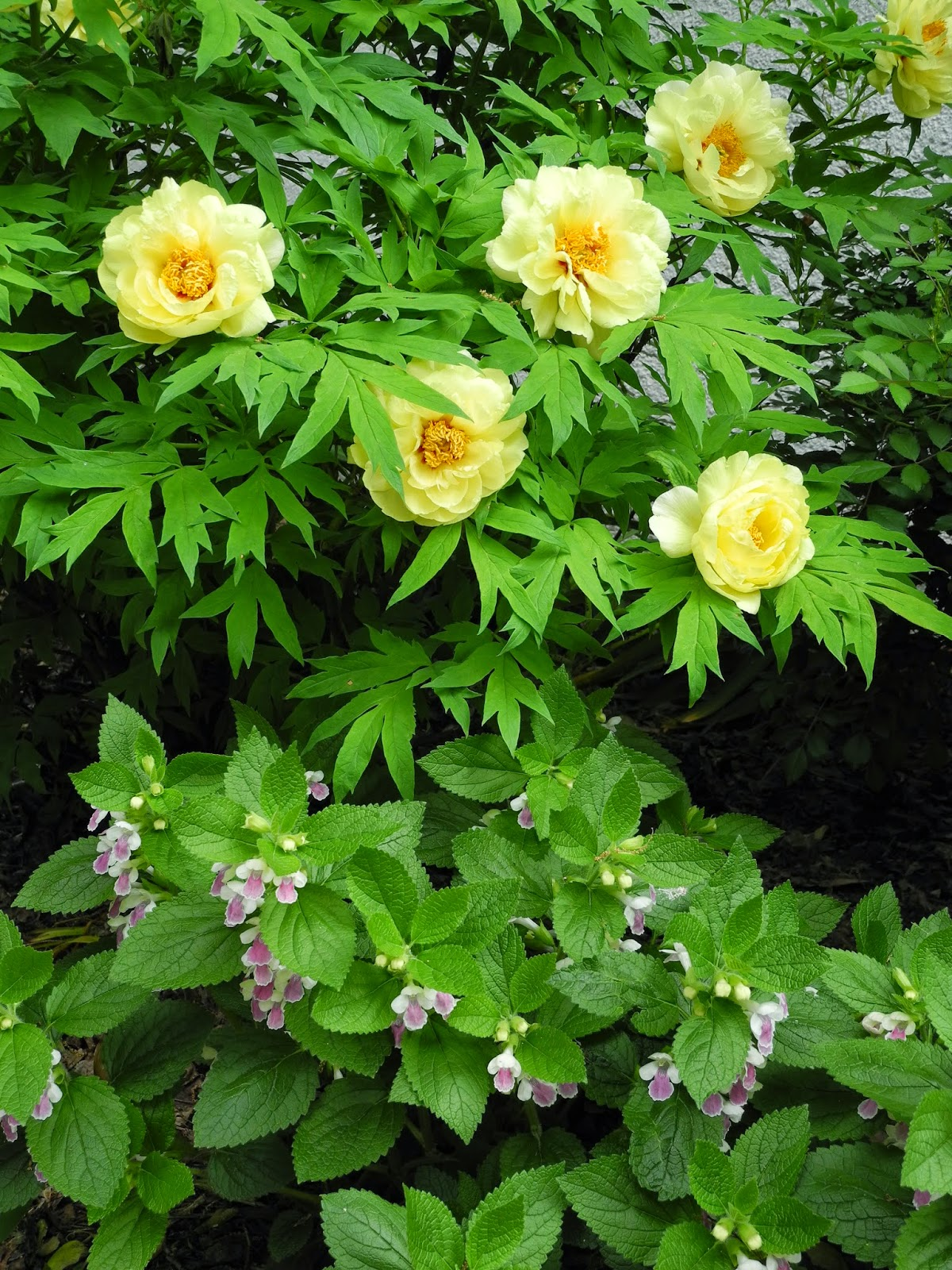 The Phytophactor Friday Fabulous Flower Yellow Tree Peony And Friend
