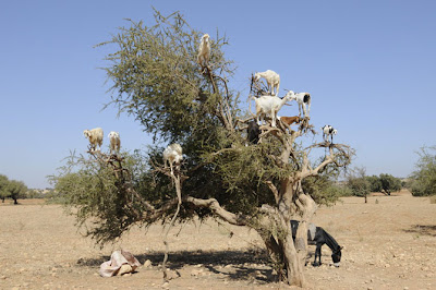 cabras trepadoras