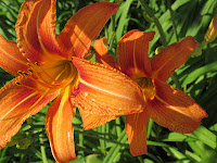 two bright orange colored day lily blooms