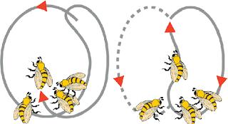abejas realizan danzas para comunicarse