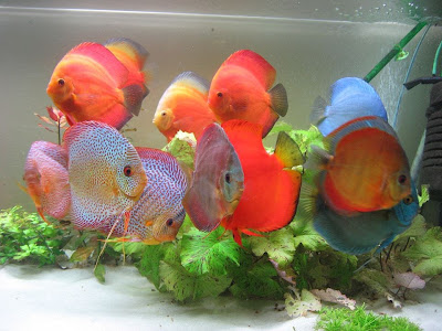 Discus Fish Photos