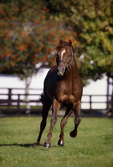 Foto: raza pura sangre caballo árabe