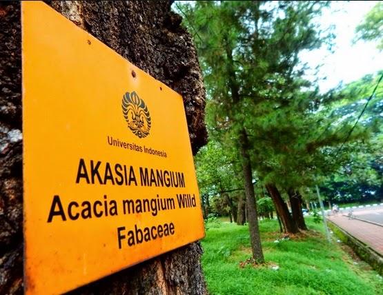 acacia mangium willd fabaceae