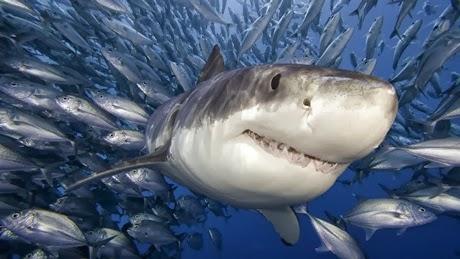 datos curiosos tiburones