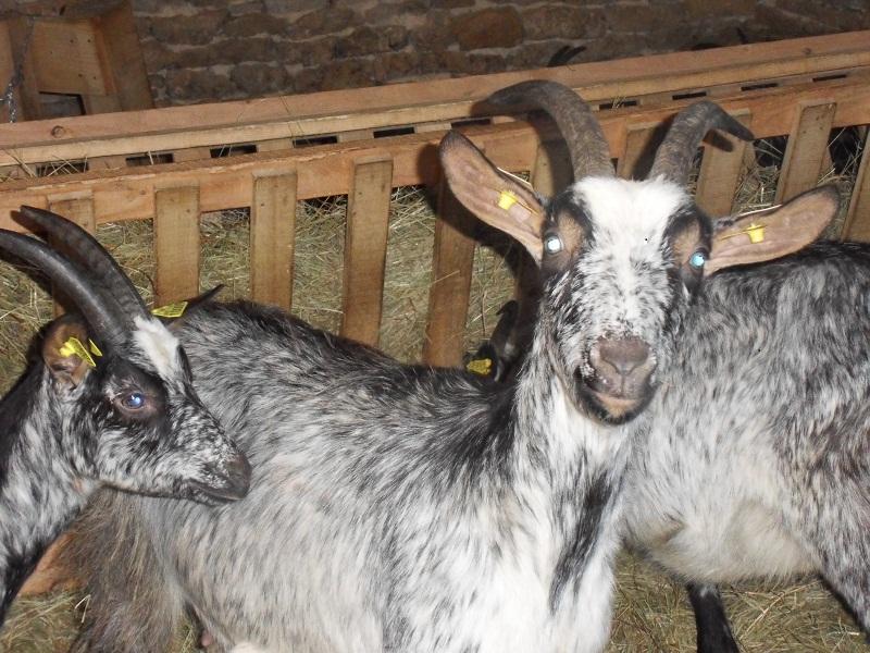 chèvre laitière bio
