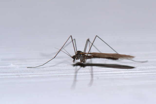 winter crane fly