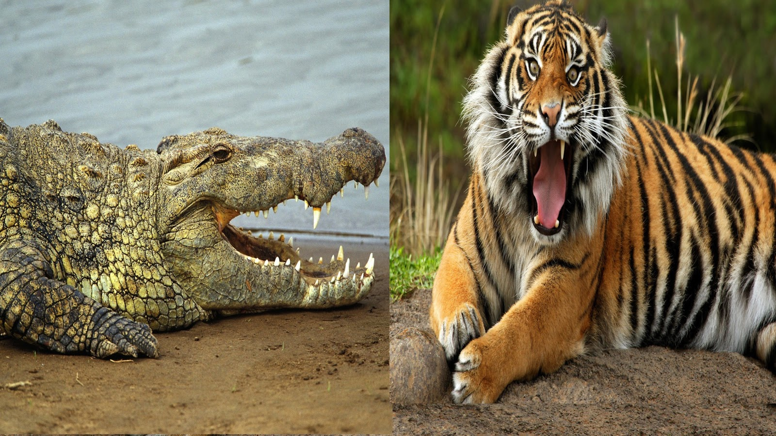 Saltwater crocodile vs tiger - photo#1