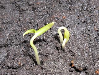 ростки перцев