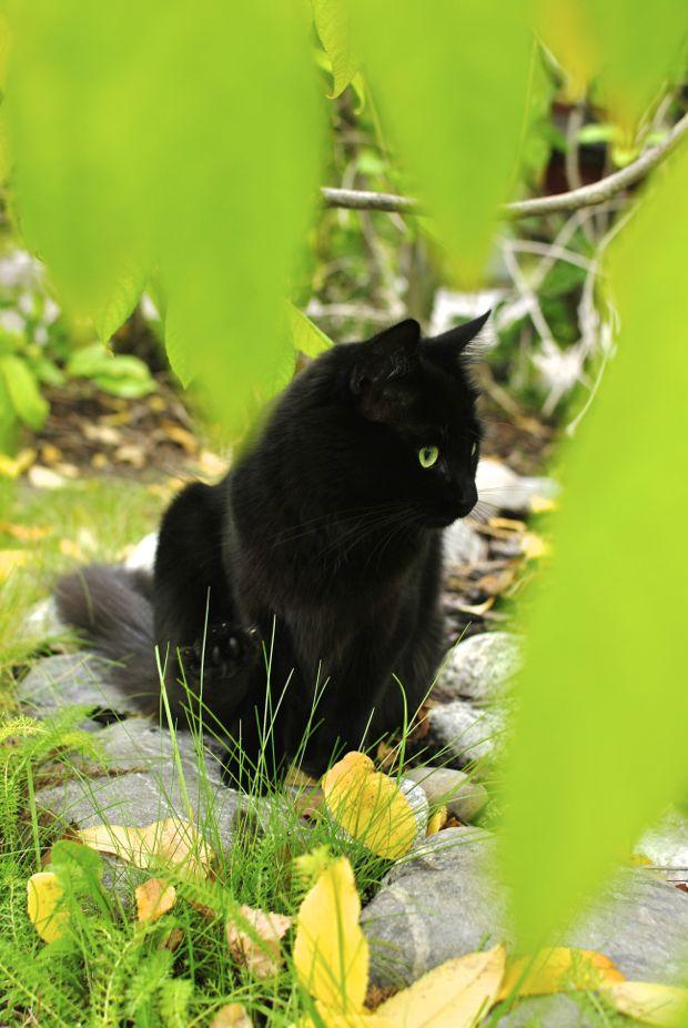 svart katt höstlöv