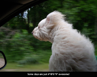 white dog in a car window
