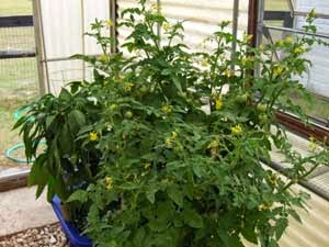 Container tomatoes plants in the greenhouse garden