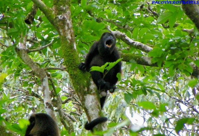 Mono Aullador en Cahuita
