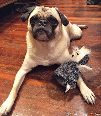 Liam the pug posing with his dog toy from BarkBox
