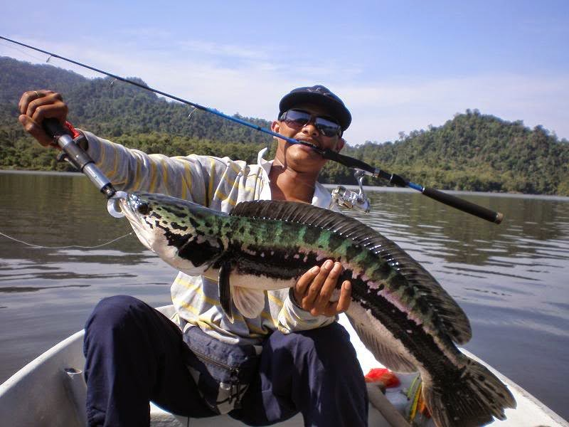 Cara MEMANCING IKAN Gabus - Trik Mancing,Umpan Jitu Mancing Ikan Gabus - Teknik dan Tips, Tips Cara Mancing Ikan Gabus   Kepri Fishing Club