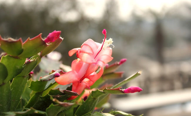Chrismas Cactus Flowers