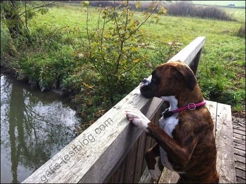 Boxer Amy am Brückengeländer