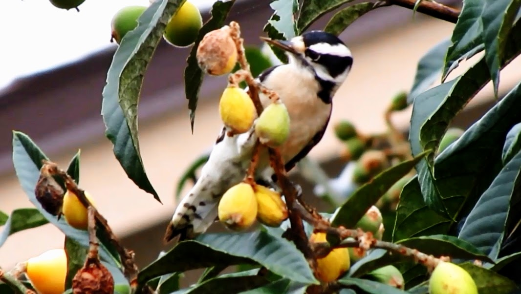 Downy Woodpecker Eating Loquats