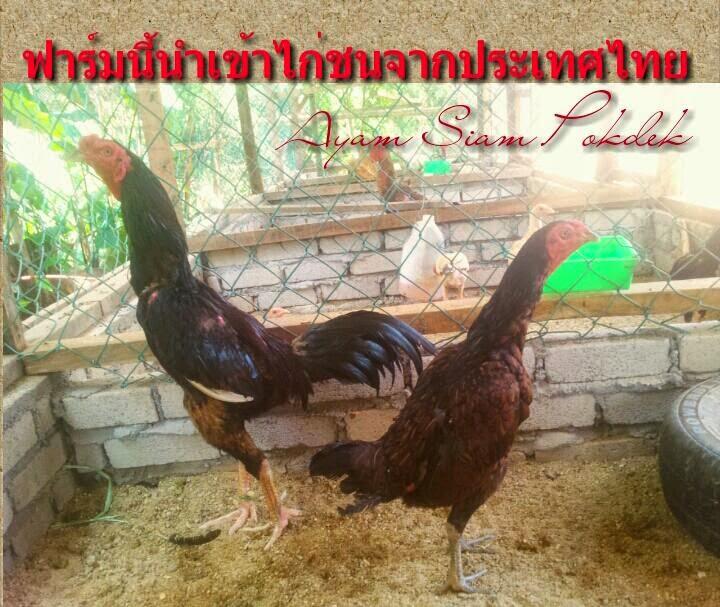 ayam siam pokdek ฟาร์มนี้นำเข้าไก่ชนจากประเทศไทย