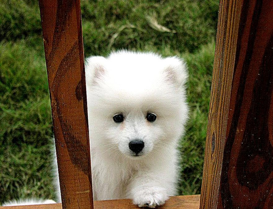 Images Cute Eskimo Dog | Best HD Wallpapers
